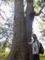 ケヤキ大木