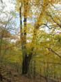 イヌブナ大木