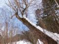 ダケカンバ大木