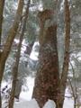 新たなダケカンバ巨木