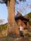 平五良観音の大杉
