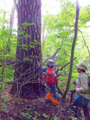 カラマツ大木
