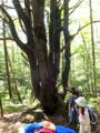 コメツガ巨木