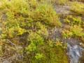 カラマツの稚木