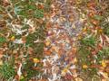 ダケカンバの葉