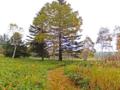 シラビソの大木