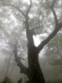 ダケカンバ巨木