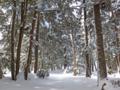 万座温泉の針葉樹林