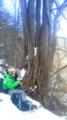 カツラ巨木の前で