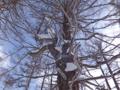 万座のカラマツ巨木