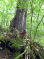 軽井沢の巨木