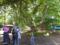 トチノキ巨木