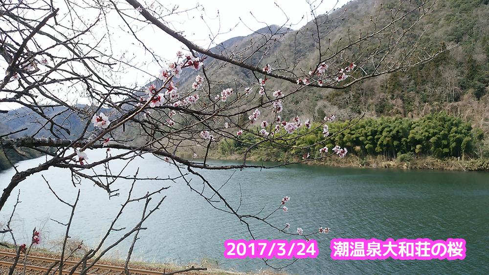 潮温泉大和荘の桜が咲き始めていますtags[島根県]
