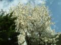 今朝、白木蓮が満開になりました