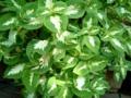 今朝のコリウス目が覚めるような緑です。