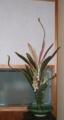 [花] ドラセナ