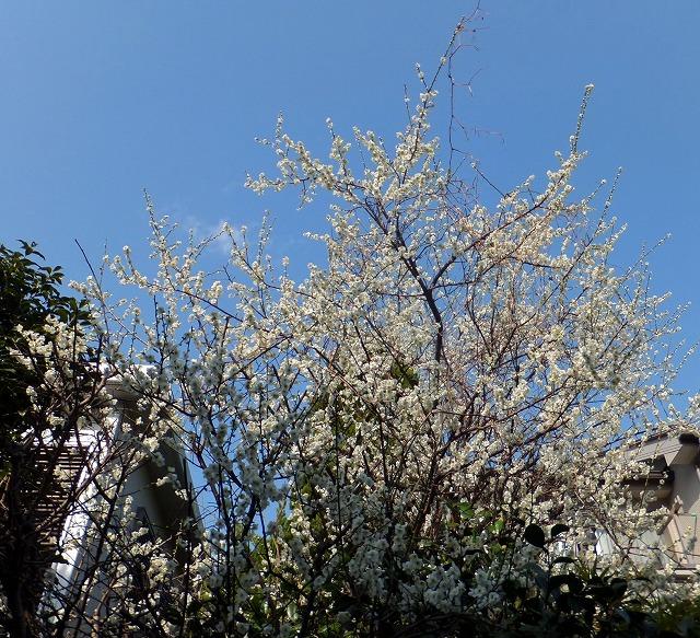 満開の庭の白梅