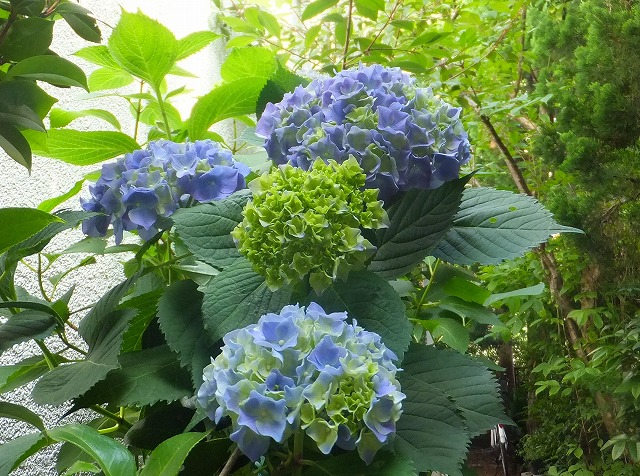 庭の紫陽花2013