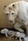 ホワイトライオンの3匹の赤ちゃん.J