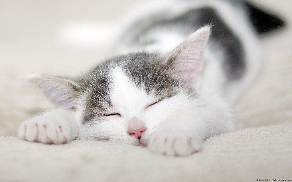 昼寝している白とグレーの毛が混じった小さな子猫
