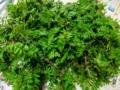 山椒の木芽
