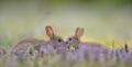 アナウサギの親子」フランス