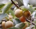 琉球豆柿.