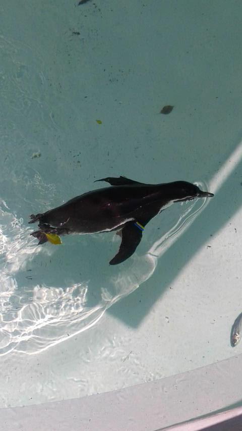 フンボルトペンギン8