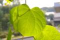 [植物]シダレカツラ