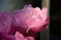 [鼻][植物]薔薇