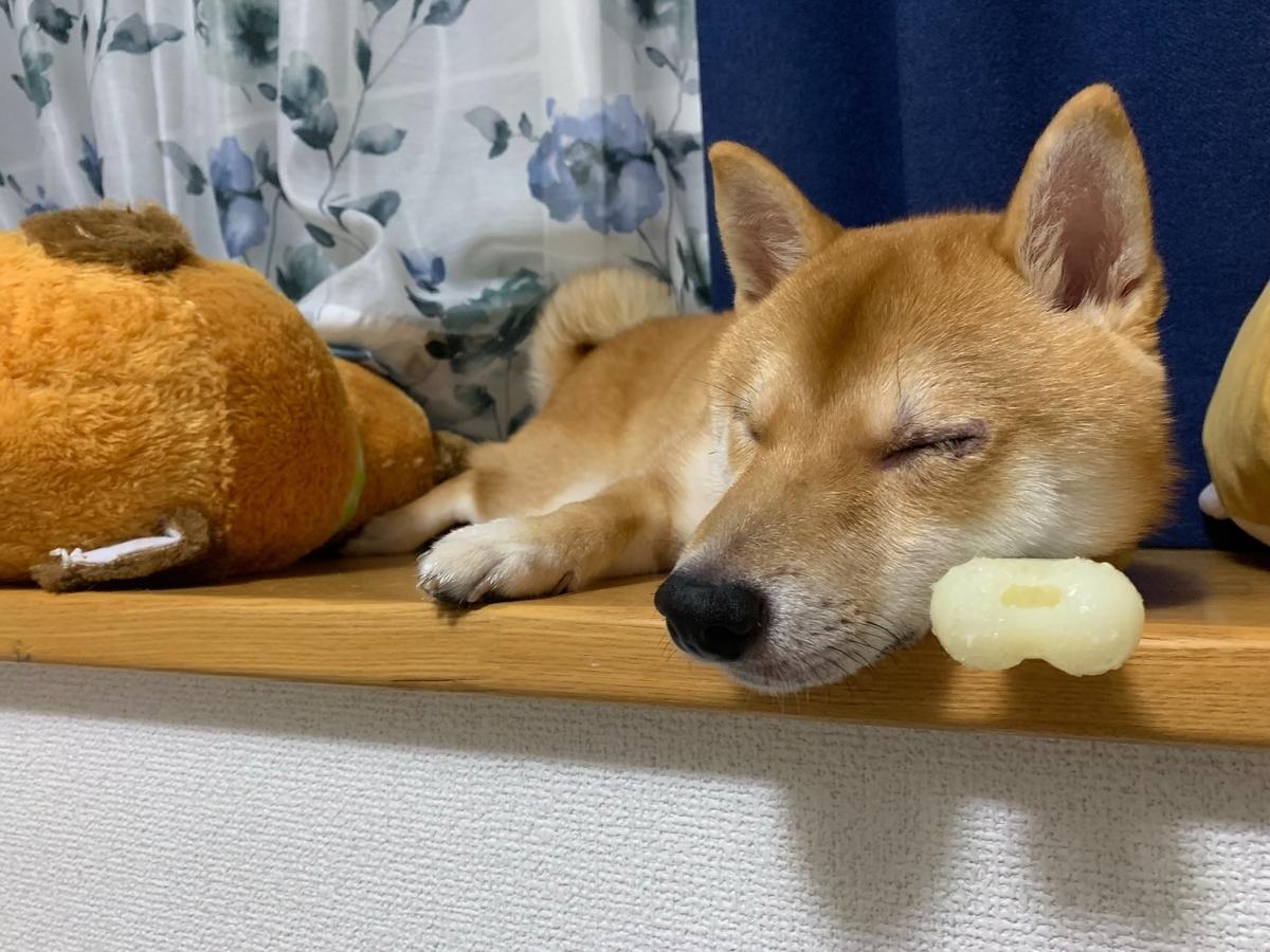 四方漱一の豆柴の寝顔