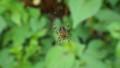 山城鬼蜘蛛