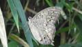 里黄斑日陰蝶