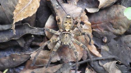 小脚高蜘蛛