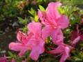 [花][ツツジ]azalea. 200505_3