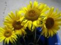 [花][ヒマワリ]花摘み直後の。滴跡が…(苦笑)。 200508_1