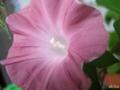[花][アサガオ]茶身がかったアサガオ。 200508_3