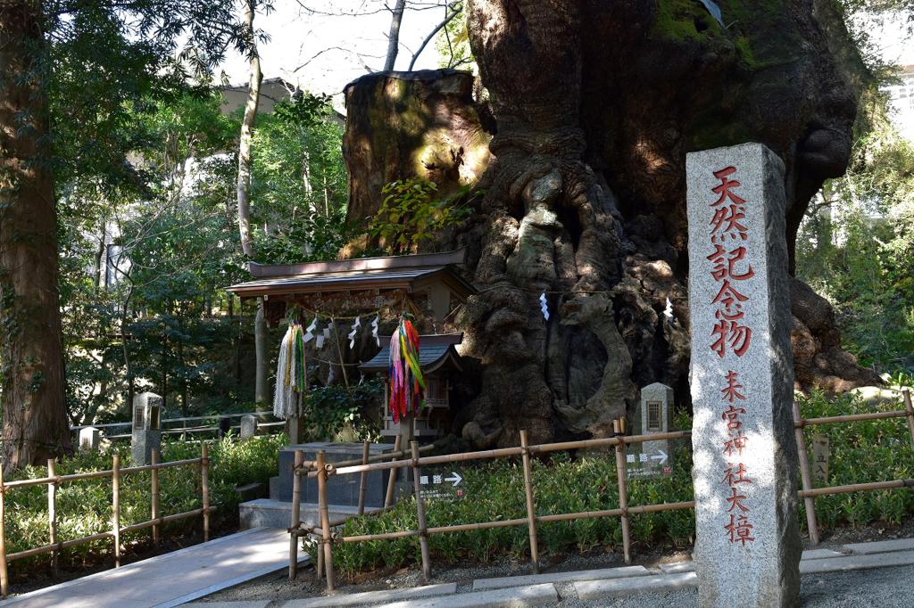 來宮神社の大楠