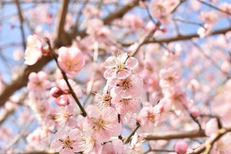 駒門風穴近くの駐車場に咲いた桜