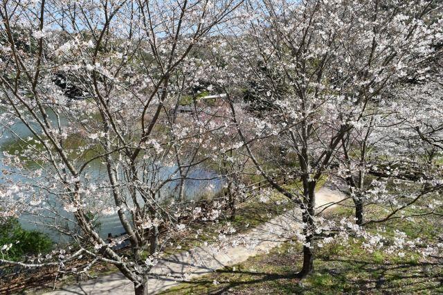 城池親水公園の桜