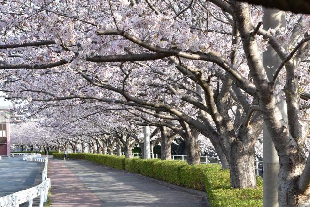 桜堤遊歩道