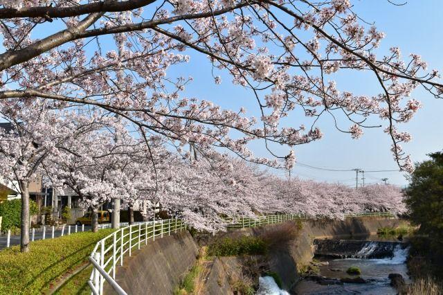 桜堤北公園の桜
