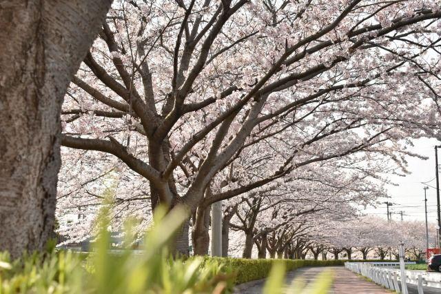 桜堤遊歩道の桜