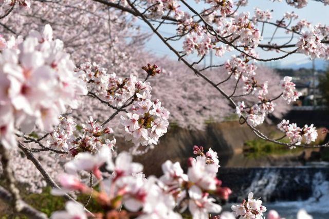 桜堤の遊歩道の桜