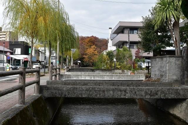 桜川沿いの柳とカモ