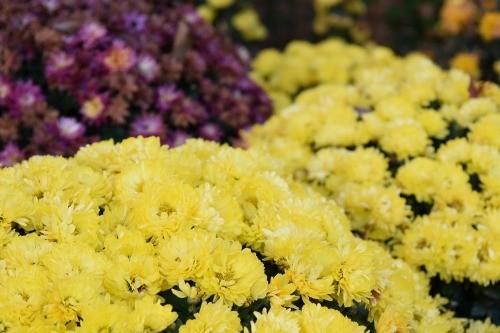 楽寿園の菊祭り