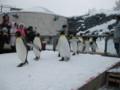 旭山動物園_ペンギン散歩タイム