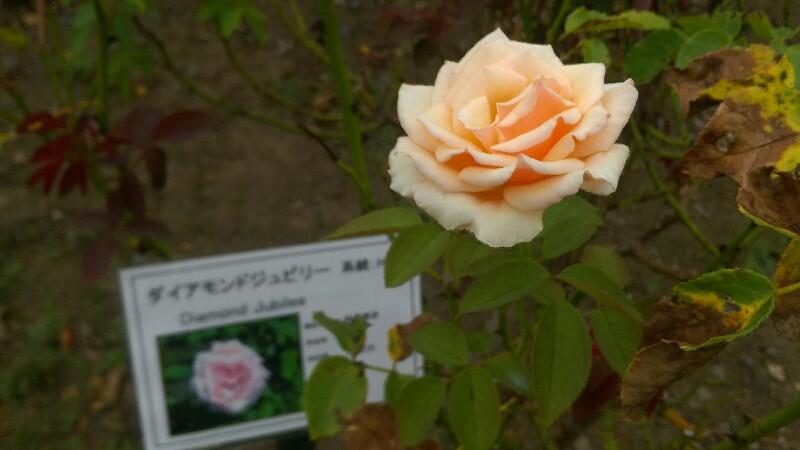 茨城県植物園のバラ