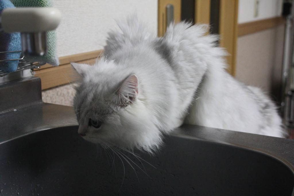 AKIRAが飼っているペルシャ猫