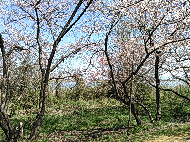鳥屋野潟にある桜の画像